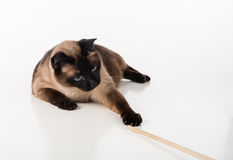 Siamese Cat lying on the white desk and playing with Wooden Stick. White background. Stock Photos