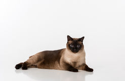 Siamese Cat Lying on the white desk. White background. Looking into Camera. Royalty Free Stock Photo