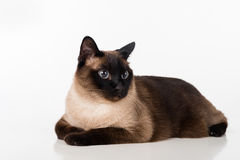 Siamese Cat Lying on the white desk. White background. Looking Right. Stock Photography