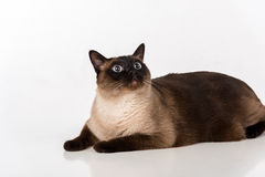 Siamese Cat Lying on the white desk. White background. Looking Up. Royalty Free Stock Photo