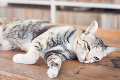 Siamese cat lying on wooden table Stock Photos