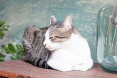 Siamese cat lying on wooden table Royalty Free Stock Image