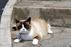 Siamese cat mongrel Royalty Free Stock Photography