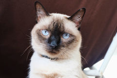 Siamese cat. Or Moon Diamond Stock Photography