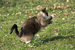 Siamese Cat and mouse Royalty Free Stock Photos
