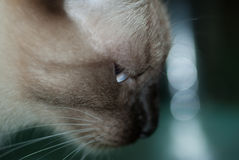 Siamese cat in moving. Macro photo Stock Images