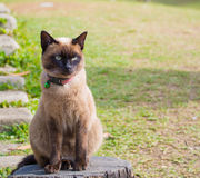 Siamese cat named Moon Diamond or seal brown, also called Wichia. Close up on Siamese cat named Moon Diamond or seal brown, also called Wichianmas on the blur Royalty Free Stock Images