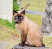 Siamese cat named Moon Diamond or seal brown, also called Wichia. Close up on Siamese cat named Moon Diamond or seal brown, also called Wichianmas on the blur Stock Photo