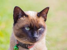 Siamese cat named Moon Diamond or seal brown, also called Wichia. Close up of Siamese cat named Moon Diamond or seal brown, also called Wichianmas on the blur Stock Images