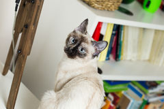 Siamese cat. Nice siamese cat portrait in a home royalty free stock photos