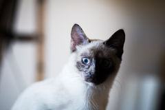 Siamese cat. Nice siamese cat portrait, natural light Stock Photography
