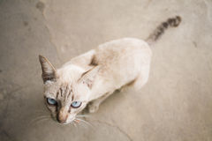 Siamese Cat on old floor Royalty Free Stock Photo