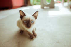 Siamese Cat on old floor Royalty Free Stock Images