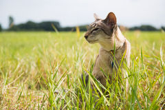 Siamese cat outdoor. Siamese cat in grass outdoor Royalty Free Stock Images