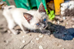 Siamese cat outdoor Royalty Free Stock Photos