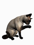 Siamese cat over white. Stock Photos