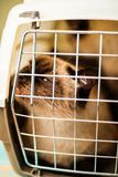 Siamese cat in a plastic carrier box Stock Photo