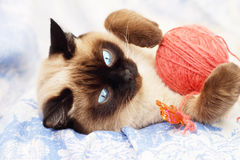 Siamese cat playing Stock Photos
