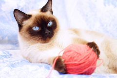 Siamese cat playing Royalty Free Stock Image
