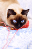 Siamese cat playing Stock Images