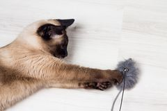 Siamese cat playing with a mouse Stock Photos