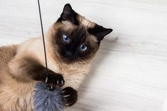 Siamese cat playing with a mouse Stock Photography