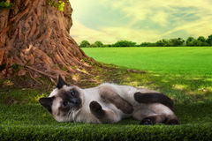 Siamese cat playing on a sunny summer day under a tree Royalty Free Stock Photos