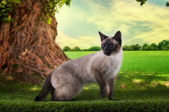 Siamese cat playing on a sunny summer day under a tree Royalty Free Stock Photography