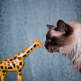 Siamese cat portrait. Portrait of a siamese cat kissing giraffe Stock Photography