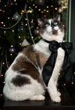 Siamese Cat Portrait. Cat with Siamese markings sitting for a formal holiday portrait with black bow in front of Christmas Tree stock images