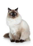 Siamese cat portrait Stock Image