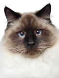 Siamese cat portrait Royalty Free Stock Photo