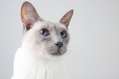 Siamese Cat Portrait on Gray. Blue Point Siamese Cat posing on gray background - Close-up Portrait royalty free stock images