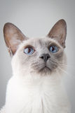 Siamese Cat Portrait on Gray. Blue Point Siamese Cat looking up with curisosity -Close-up Portrait stock photo