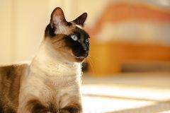 Siamese cat portrait stock image
