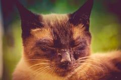 Siamese Cat Portrait Retro Stock Photos
