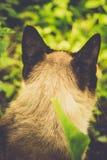 Siamese Cat Portrait Retro Stock Photography
