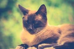 Siamese Cat Portrait Retro Stock Image