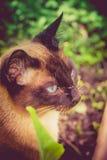 Siamese Cat Portrait Retro Royalty Free Stock Photo