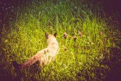 Siamese Cat Portrait Retro Stock Images
