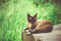 Siamese Cat Portrait Retro Royalty Free Stock Images