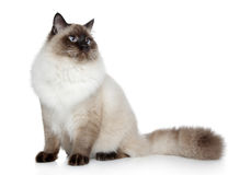Siamese cat posing on a white background Stock Images