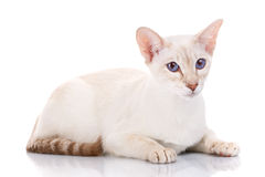 Siamese cat posing on a white background. Oriental Blue-eyes siamese cat posing on a white background Royalty Free Stock Photos
