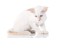 Siamese cat posing on a white background Royalty Free Stock Photos