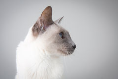 Siamese Cat Profile on Gray. Blue Point Siamese Cat posing on gray background - Profile Portrait royalty free stock image