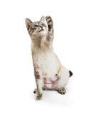 Siamese Cat Raising Paw om te spelen Stock Fotografie