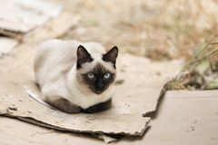 Siamese cat relaxed on the outside of a country house. Stock Images