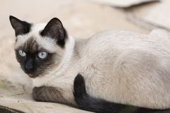 Siamese cat relaxed on the outside of a country house. royalty free stock photos