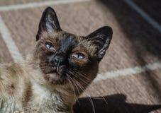Siamese cat in rest Stock Images