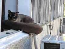 A Siamese cat resting on cushion. A Siamese cat resting on a cushion in the window royalty free stock photo